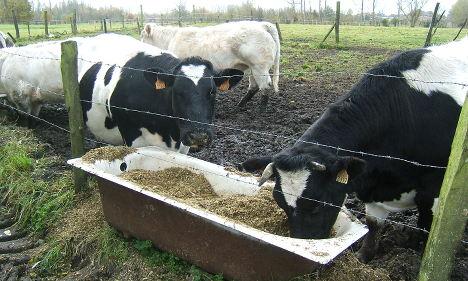 Cow pat bingo makes a big splat in Norway