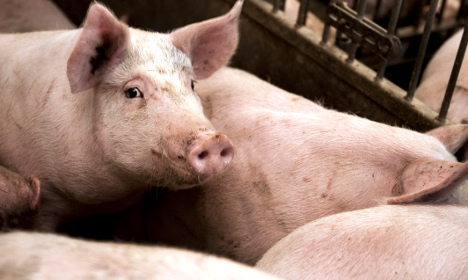 Swedish farm mystery as pigs vanish without trace