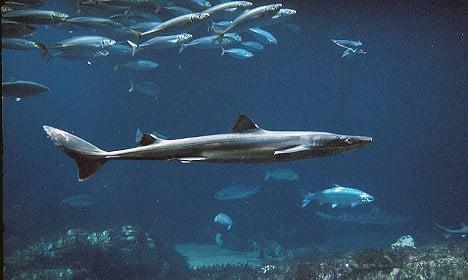 Sweden's sharks heading towards extinction