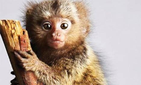 Three tiny monkeys stolen from German zoo