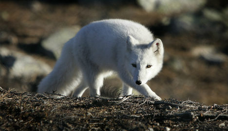 Norway and Sweden join forces to save Arctic fox
