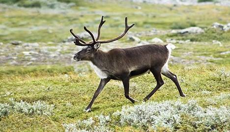 Norway plans reindeer Slow TV programme