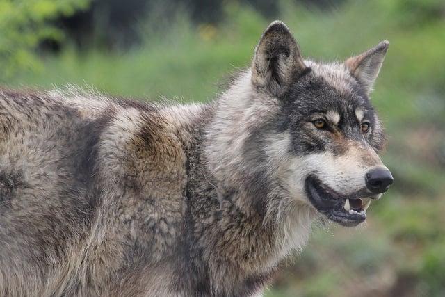Switzerland orders death of sheep-killing wolf