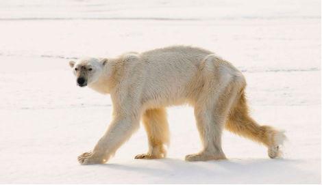 Hungry polar bear makes record dive