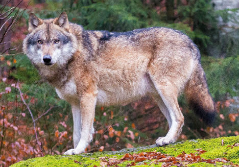 Fritzi the wolf still on the loose in Styria