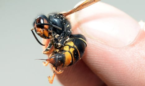 Plant that devours Asian hornets found in France
