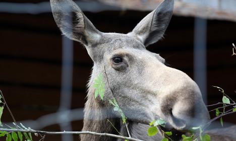 Sweden warns drivers of elks on hunt for sex