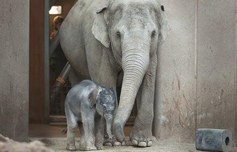 Copenhagen Zoo mourns death of baby elephant