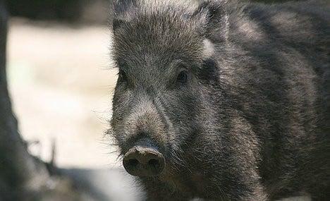 Rome boar sightings renew calls for cull