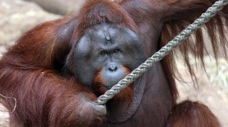 Orang-utan shot after shocking zoo breakout
