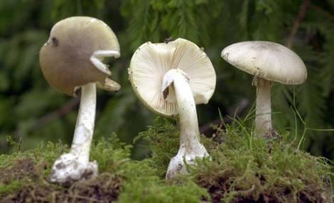 Foraging refugees eat deadly mushrooms