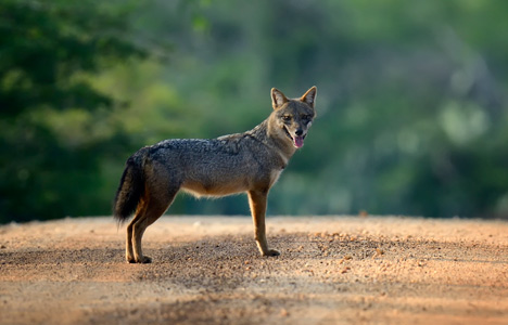 First European jackal discovered in Denmark