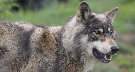 Eco groups protest over wolf death sentence