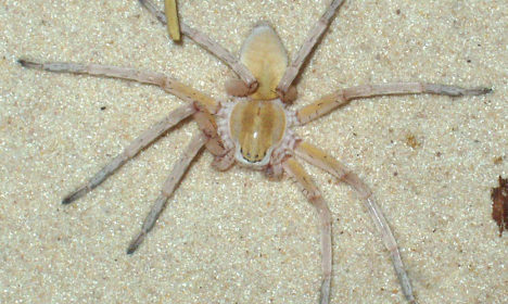 Spiders with 'love bites' puzzle scientists