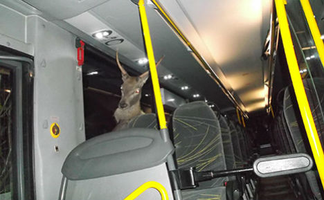 Stag smashes through bus windscreen