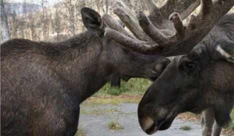 Norway hunter admits to shooting elk in zoo