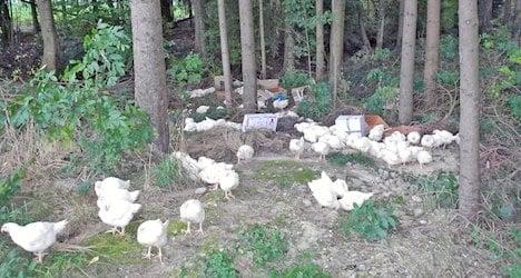 Thurgau police round up 140 abandoned hens