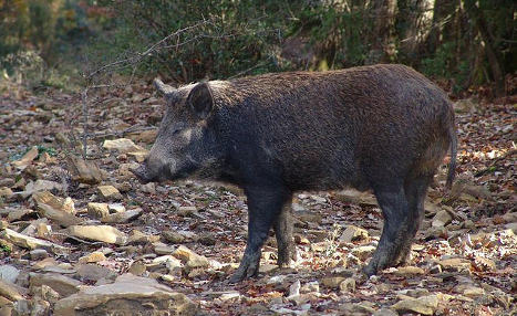 Italy's wild boars go on the pill