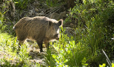 Hunter bleeds to death after being gored by injured wild boar in Spain