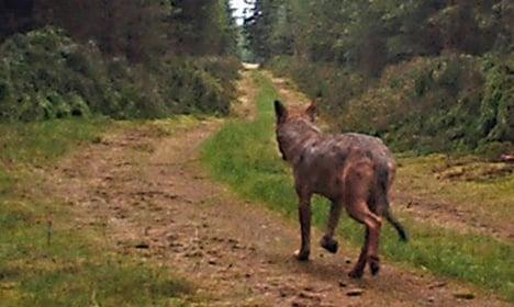 'Wolf selfie' thrills Danish nature lovers