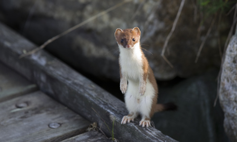 Swedish politician attacked by 'cute' weasel