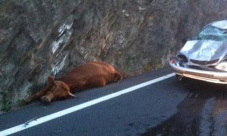 French driver survives cow's crash landing