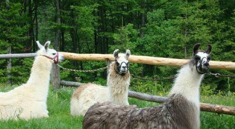Mysterious deaths of 12 llamas in Carinthia