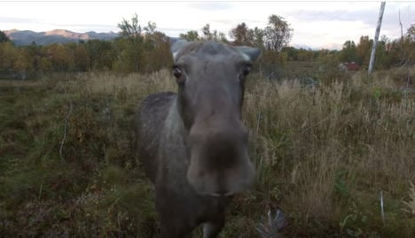 Curious elk sniffs at hovering drone
