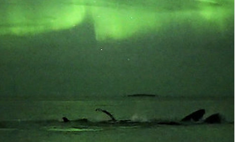 Humpback whales play under the Aurora