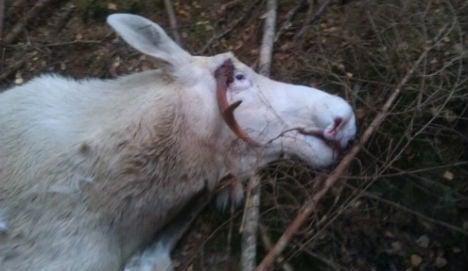 Norway hunter shoots rare white elk