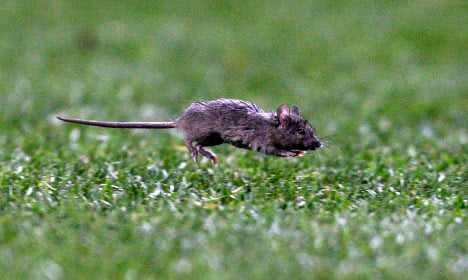 Munching mouse sparks blackout in Sweden