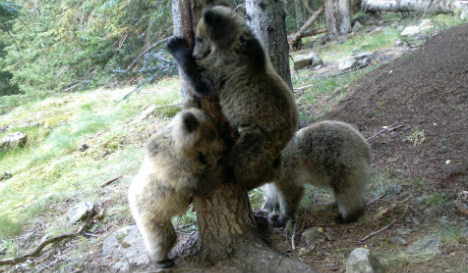 Climbing a tree is no picnic for this adorable family of Spanish bears