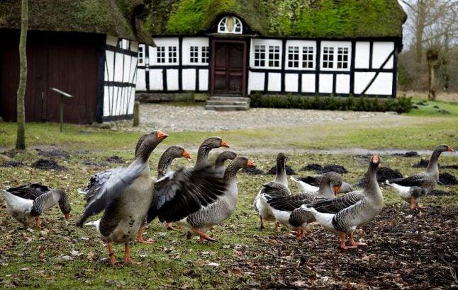 Mortensaften: Denmark's goose-eating annual tradition explained