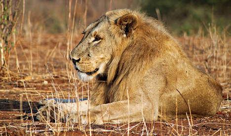 Italian vet sacked from kennel job over lion hunt
