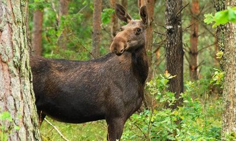 Elk return to Denmark after 5,000 years