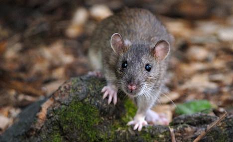 Four Italians contract deadly rat urine disease