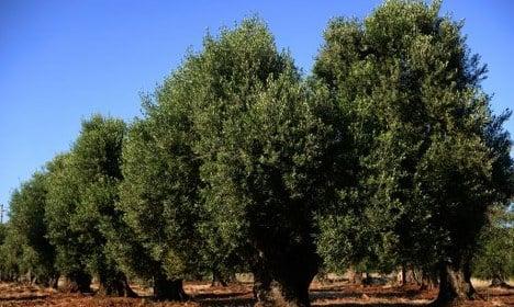 Italy defies EU order to fell diseased olive trees