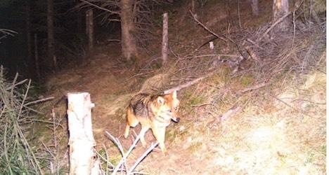 Hunter accidentally shoots rare golden jackal