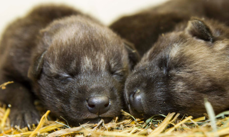 Are these Swedish puppies the cutest zoo animals ever?