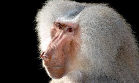 Police hunt baboon on loose in Denmark