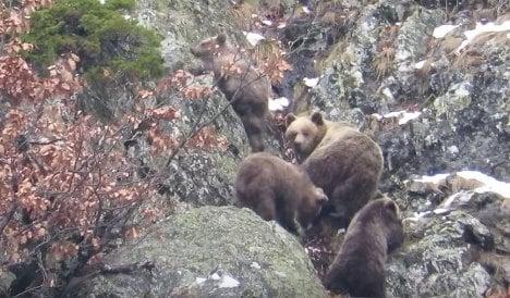 Spain's mild winter is waking bears from hibernation early