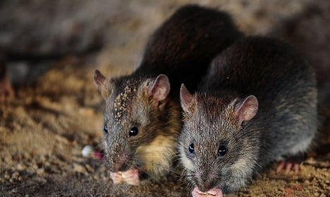 VIDEO: Scared of rats? Rome epidemic will creep you out