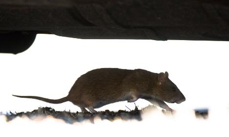 Eeeeeeeek! Gigantic rat swims up Swede's toilet
