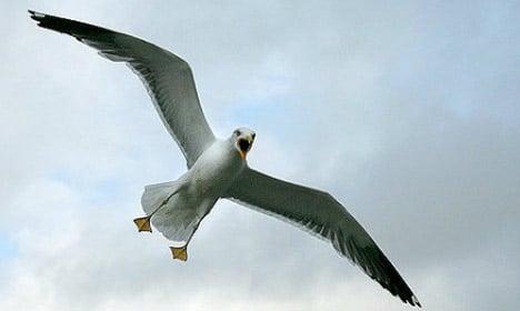 Aarhus declares war on seagull menace