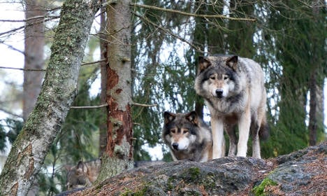 Watch a wild wolf caught on camera in southern Sweden