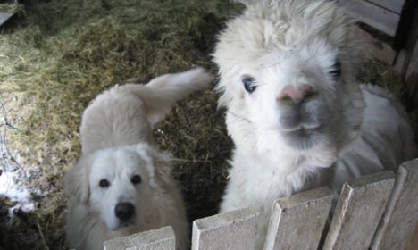 Animal magic! Swedish dog adopted by alpacas