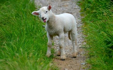 Italian teen swaps his dad's lamb for cocaine