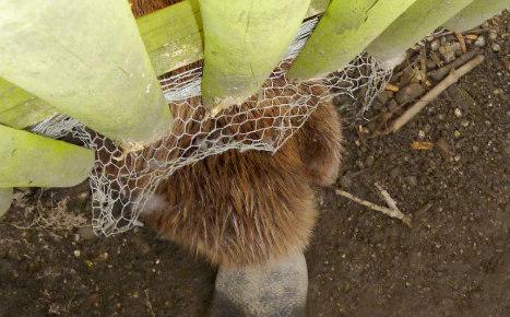 Beaver's Kardashian-sized bum lands him in trouble