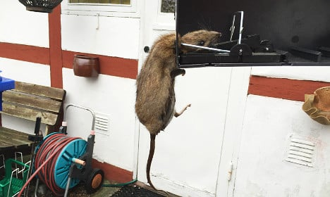 Huge rat 'most disgusting thing I've come across'