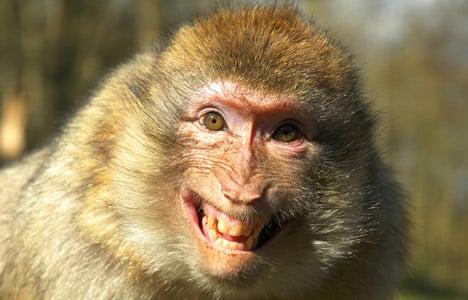 Monkeys on the loose in Denmark – again